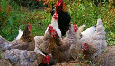 Ani Tavuk Ölümleri Sebepsiz Değil