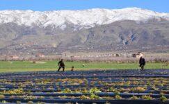 İzollu 'da Çilek Ekimi Başladı
