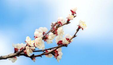 Malatya'da ilk kez Kayısı Çiçeği Şenliği Düzenlenecek