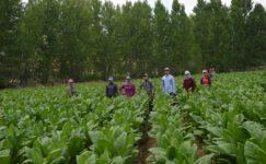 Doğanşehirli Tütün Üreticilerden Yasal Düzenleme Çağrısı